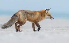 Обои снег, лиса, лисица