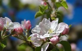 Картинка макро, дерево, ветка, весна, яблоня
