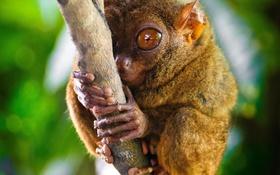 Обои глаза, ветка, примат, долгопят
