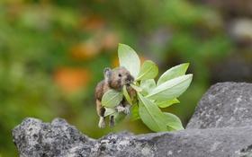 Обои прыжок, листочки, травинка, пищуха