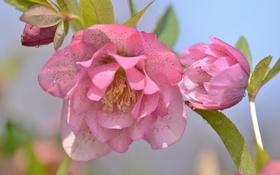 Картинка макро, розовый, морозник, геллеборус