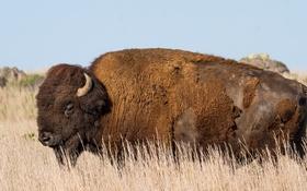Картинка Oklahoma, Buffalo, American Bison
