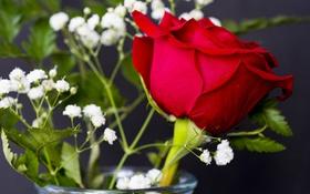 Обои роза, гипсофила, бутон