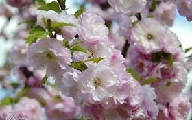 Обои ветка, весна, миндаль