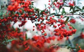 Обои листья, ветки, ягоды, красные