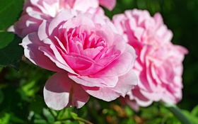 Обои розовый, розы, лепестки
