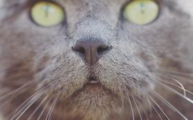Обои глаза, кот, усы, нос