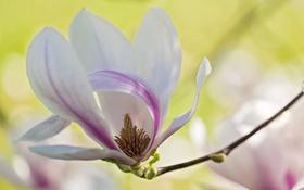 Обои макро, нежность, весна, лепестки, магнолия