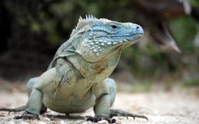 Обои pose, reptile, blue iguana