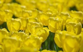 Обои цветы, желтые, лепестки, тюльпаны