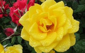 Обои капли, роза, жёлтая