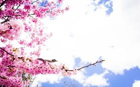 Обои весна, лепестки, сакура, птичка, цветение