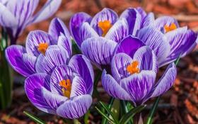 Картинка макро, весна, крокус, шафран
