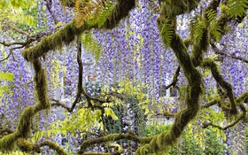 Обои дерево, сиреневый, глициния, вистерия