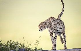 Обои природа, фон, Cheetah