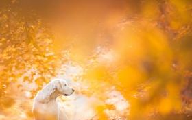 Обои осень, взгляд, друг, собака