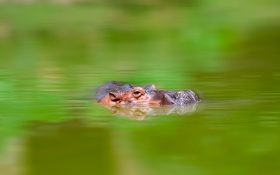 Картинка вода, природа, бегемот