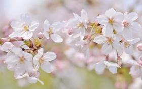 Обои макро, вишня, нежность, ветка, весна, сакура