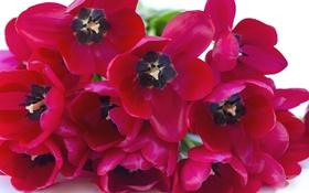 Обои макро, лепестки, тюльпаны
