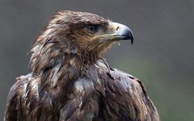 Обои взгляд, дождь, птица, клюв, орёл