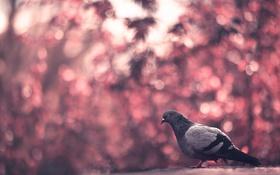 Обои фон, птица, голубь