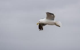 Обои полет, птица, чайка, летит