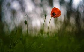 Обои трава, цветы, природа, мак, боке