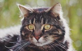 Обои кошка, глаза, кот, усы, фон, нос