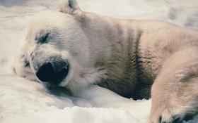 Обои морда, фон, отдых, полярный медведь