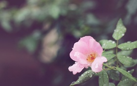 Обои цветок, капли, лепестки, розовые