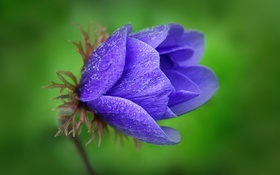 Обои макро, синий, природа, Цветок, лепестки