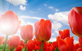 Обои небо, облака, тюльпаны, красные, лучи солнца, крупным планом