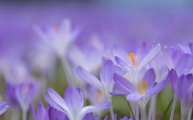 Обои крокус, лепестки, весна, природа