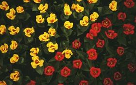 Обои цветы, желтые, тюльпаны, красные