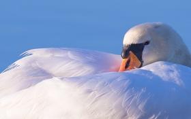 Обои птица, перья, лебедь