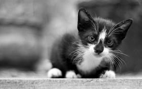 Обои взгляд, котенок, фон