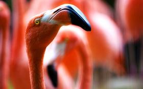 Обои глаз, птица, клюв, фламинго