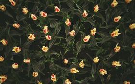Обои цветы, земля, тюльпаны, много