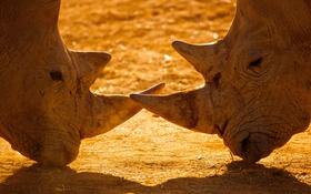 Картинка пара, рога, носороги