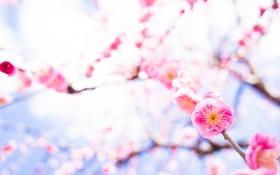 Обои цветение, сакура, лепестки, ветки