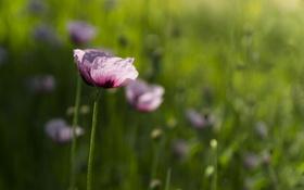Обои цветы, лепестки, розовые