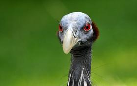 Картинка фон, птица, Грифовая цесарка