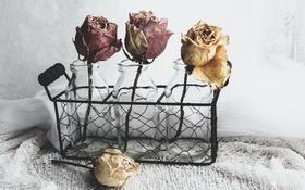 Обои цветы, розы, банки