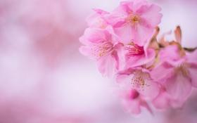 Обои вишня, розовый, сакура