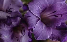 Картинка макро, лиловый, гладиолус