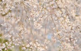 Обои ветки, вишня, весна, сакура