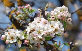 Обои пчела, дерево, весна, яблоня