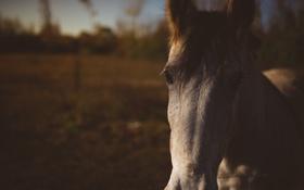 Обои глаза, конь, лошадь, челка