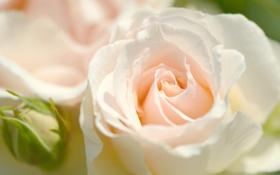 Картинка макро, нежность, роза, лепестки, бутон