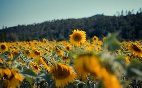 Картинка подсолнухи, цветы, желтые лепестки
